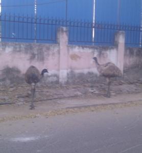 Emus wandering near RA Puram